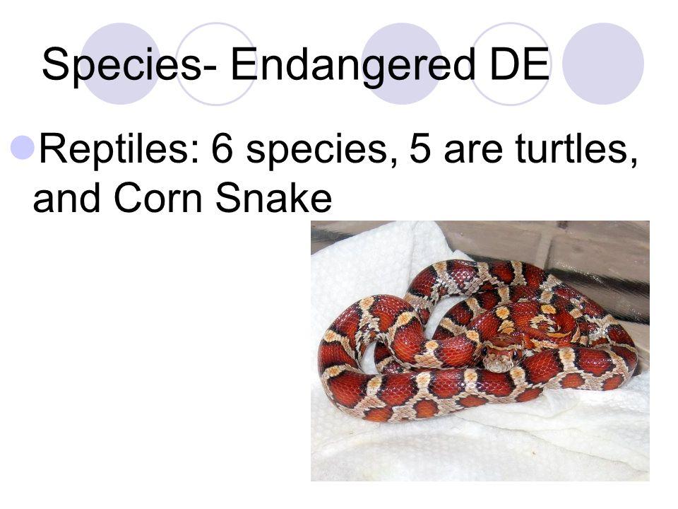 Species- Endangered DE Reptiles: 6 species, 5 are turtles, and Corn Snake
