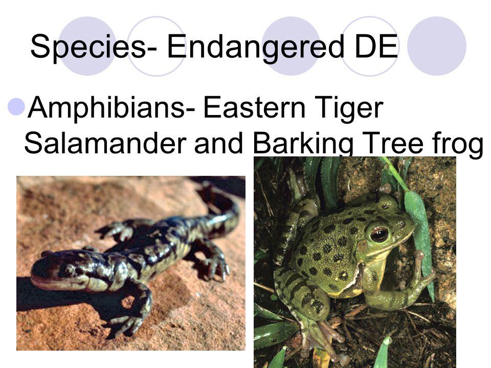 Species- Endangered DE Amphibians- Eastern Tiger Salamander and Barking Tree frog