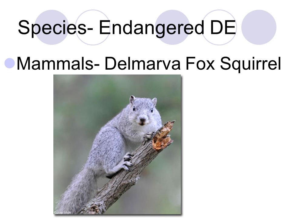 Species- Endangered DE Mammals- Delmarva Fox Squirrel