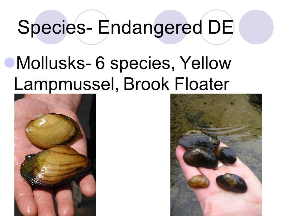 Species- Endangered DE Mollusks- 6 species, Yellow Lampmussel, Brook Floater