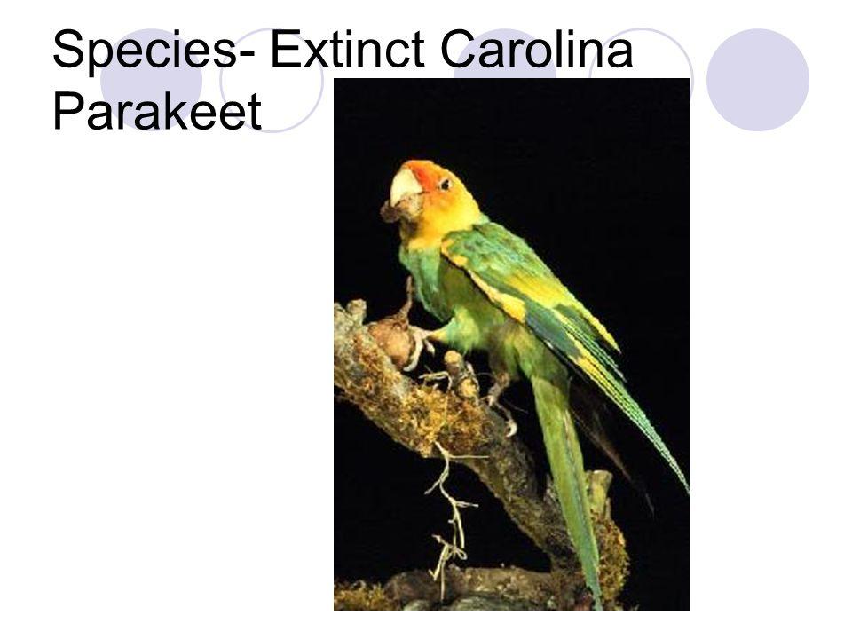 Species- Extinct Carolina Parakeet