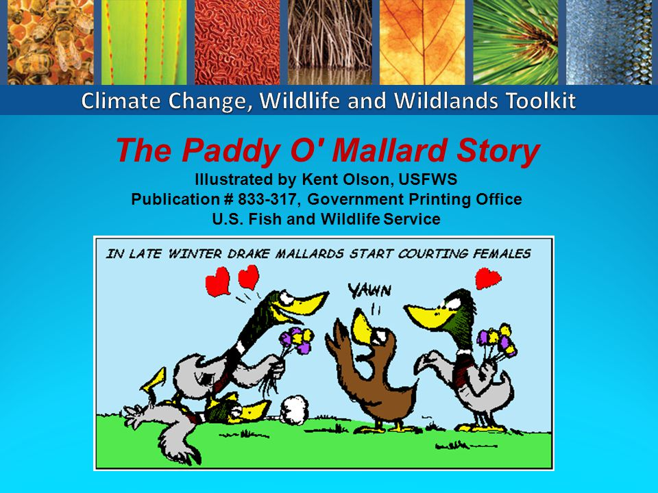 The Paddy O Mallard Story Illustrated by Kent Olson, USFWS Publication # 833-317, Government Printing Office U.S.