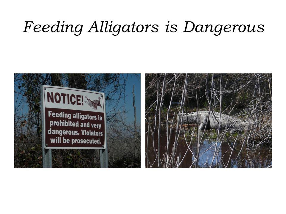 Feeding Alligators is Dangerous
