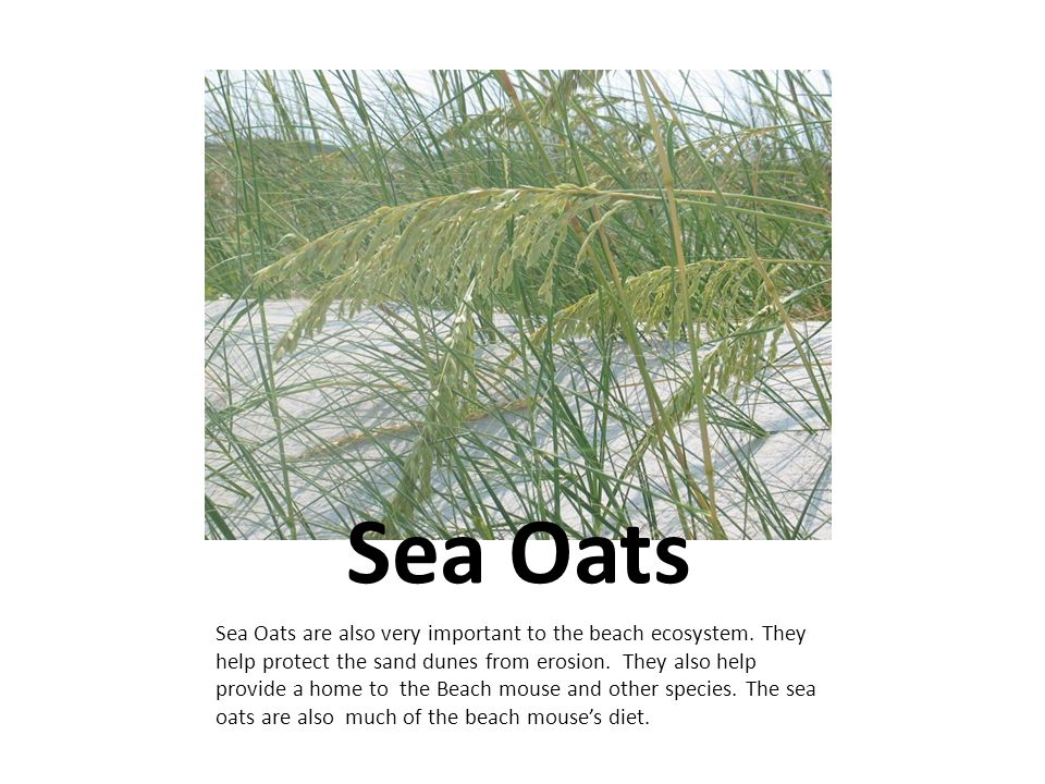 Sea Oats Sea Oats are also very important to the beach ecosystem.