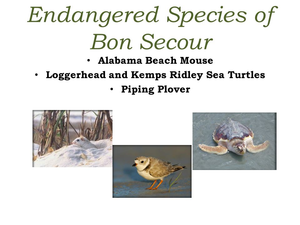 Endangered Species of Bon Secour Alabama Beach Mouse Loggerhead and Kemps Ridley Sea Turtles Piping Plover