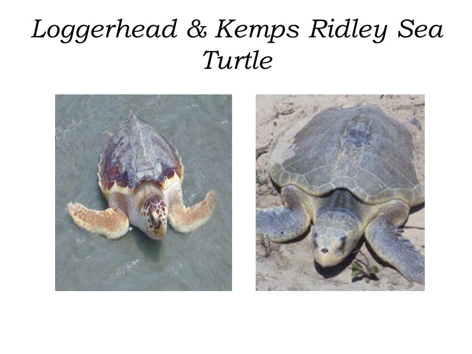 Loggerhead & Kemps Ridley Sea Turtle