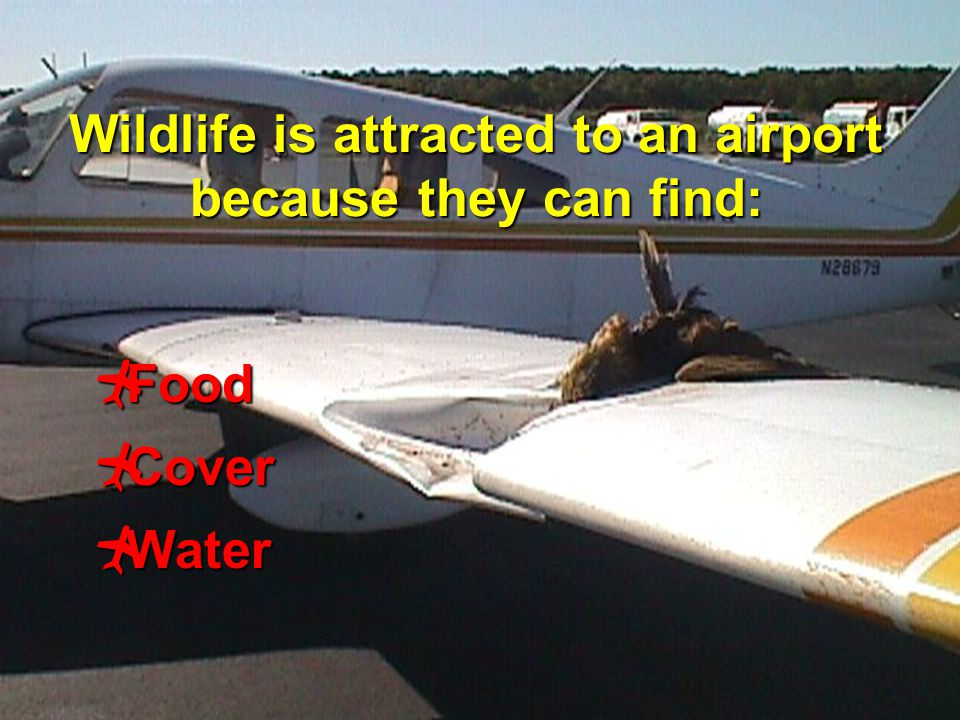 6 Wildlife is attracted to an airport because they can find:  Food  Cover  Water