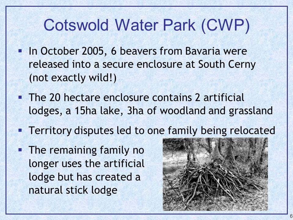 6 Cotswold Water Park (CWP)  In October 2005, 6 beavers from Bavaria were released into a secure enclosure at South Cerny (not exactly wild!)  The 20 hectare enclosure contains 2 artificial lodges, a 15ha lake, 3ha of woodland and grassland  Territory disputes led to one family being relocated  The remaining family no longer uses the artificial lodge but has created a natural stick lodge