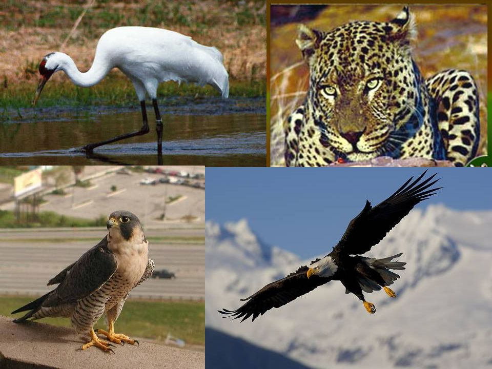 Endangered animals which are currently responding to conservation efforts and beginning to make a comeback are the whooping crane, bald eagle, and per