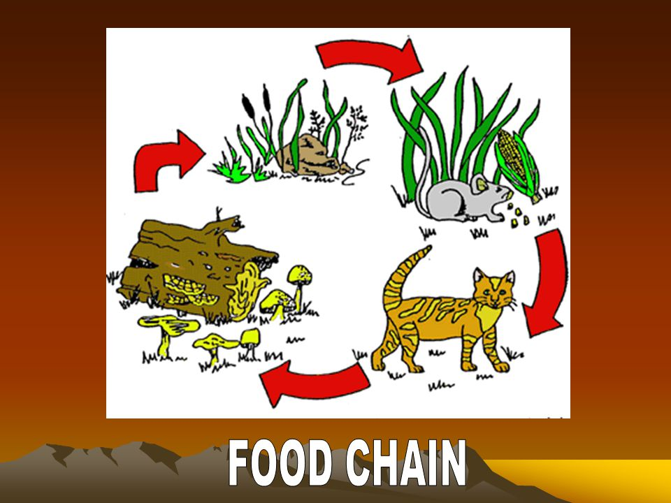 A.Food chain: involves the transfer of energy from green plants through a series of organisms with repeated stages of eating and being eaten B. Food w