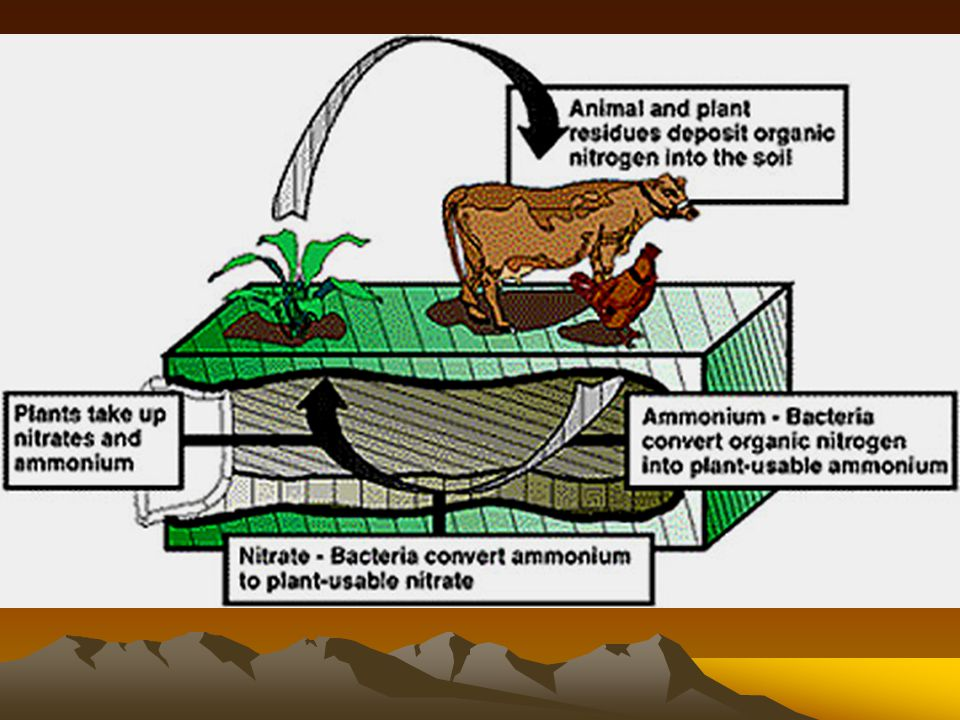 Nitrogen Cycle Nitrates (used by plants) Build plant proteins Eaten by animals made into animal proteins Plants and animals die bacteria decay Ammonia