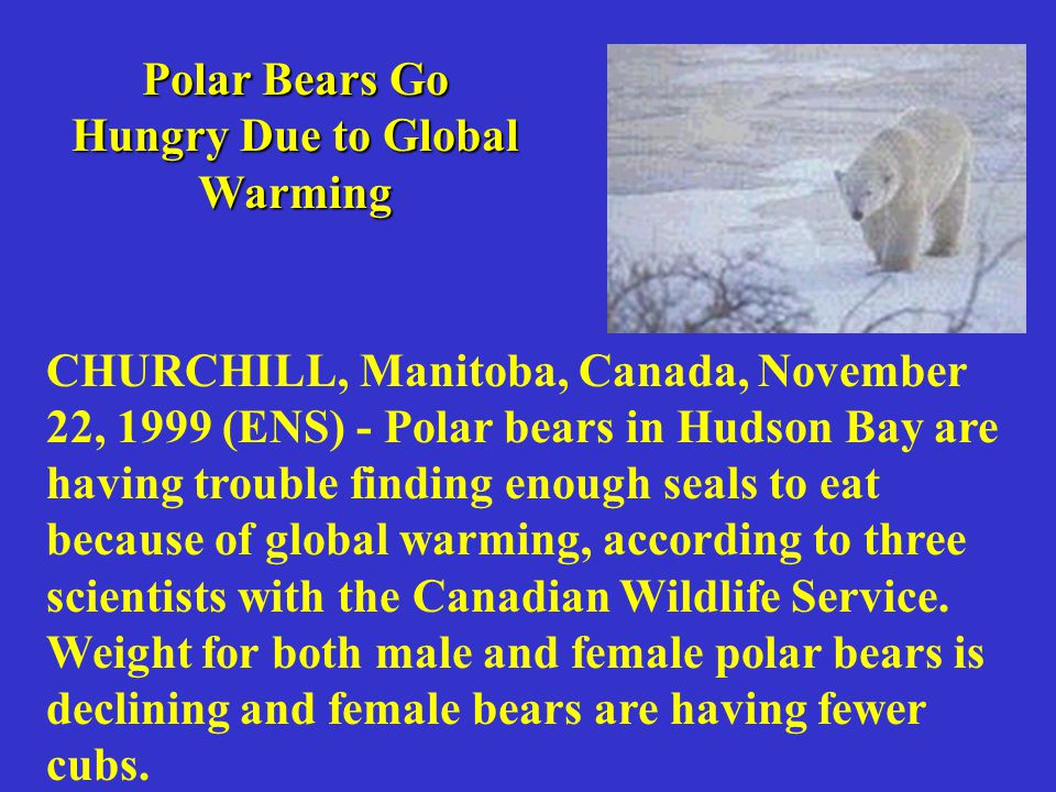CHURCHILL, Manitoba, Canada, November 22, 1999 (ENS) - Polar bears in Hudson Bay are having trouble finding enough seals to eat because of global warming, according to three scientists with the Canadian Wildlife Service.