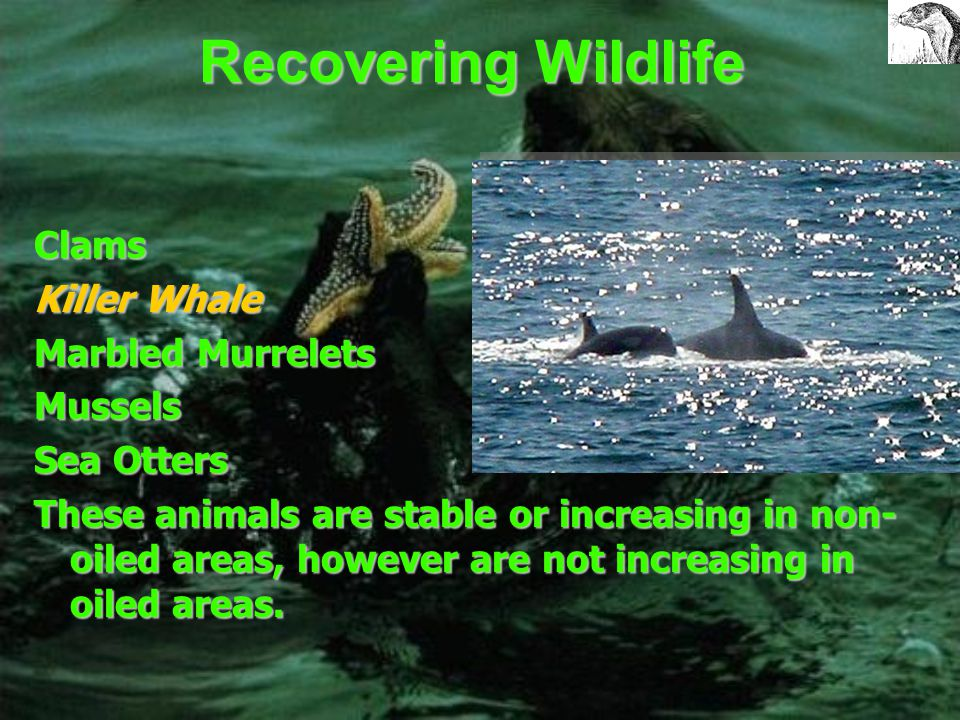 Non-Recovering Wildlife Common Loon Cormorants Harbor Seal Harlequin Ducks Pacific Herring Pigeon Guillemot These animals, in oiled areas of the sound