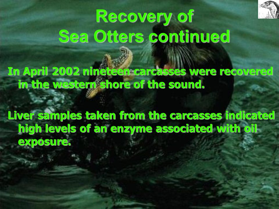 Recovery of Sea Otters continued The destruction of their environment and depletion of food sources is also hindering recovery today. During clean up