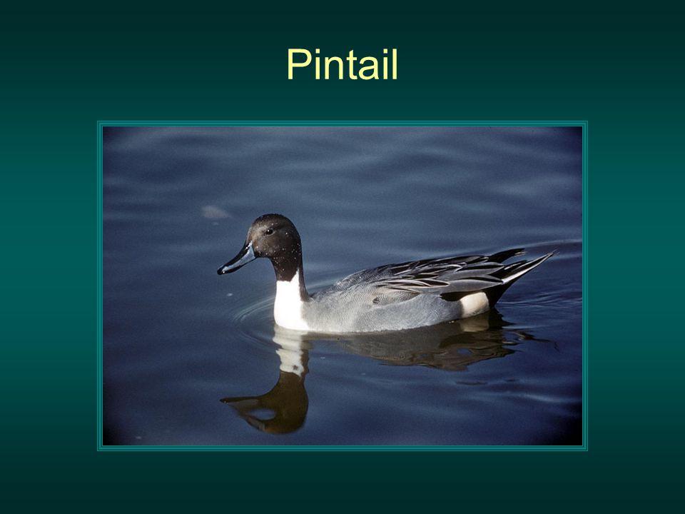 Pintail