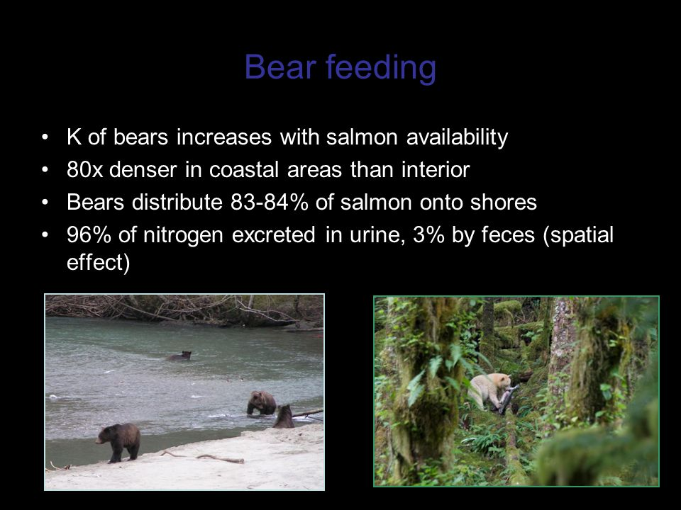 Bear feeding K of bears increases with salmon availability 80x denser in coastal areas than interior Bears distribute 83-84% of salmon onto shores 96% of nitrogen excreted in urine, 3% by feces (spatial effect)