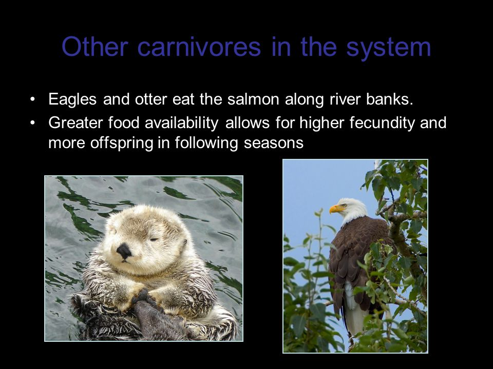 Other carnivores in the system Eagles and otter eat the salmon along river banks.