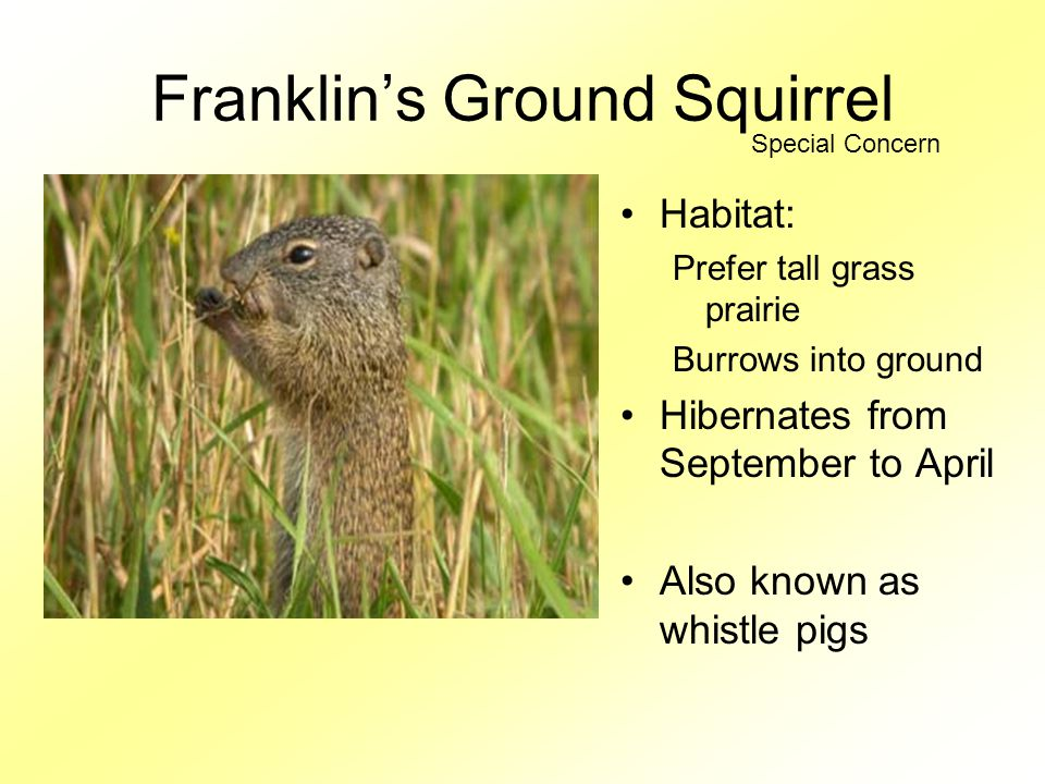 Franklin's Ground Squirrel Habitat: Prefer tall grass prairie Burrows into ground Hibernates from September to April Also known as whistle pigs Special Concern