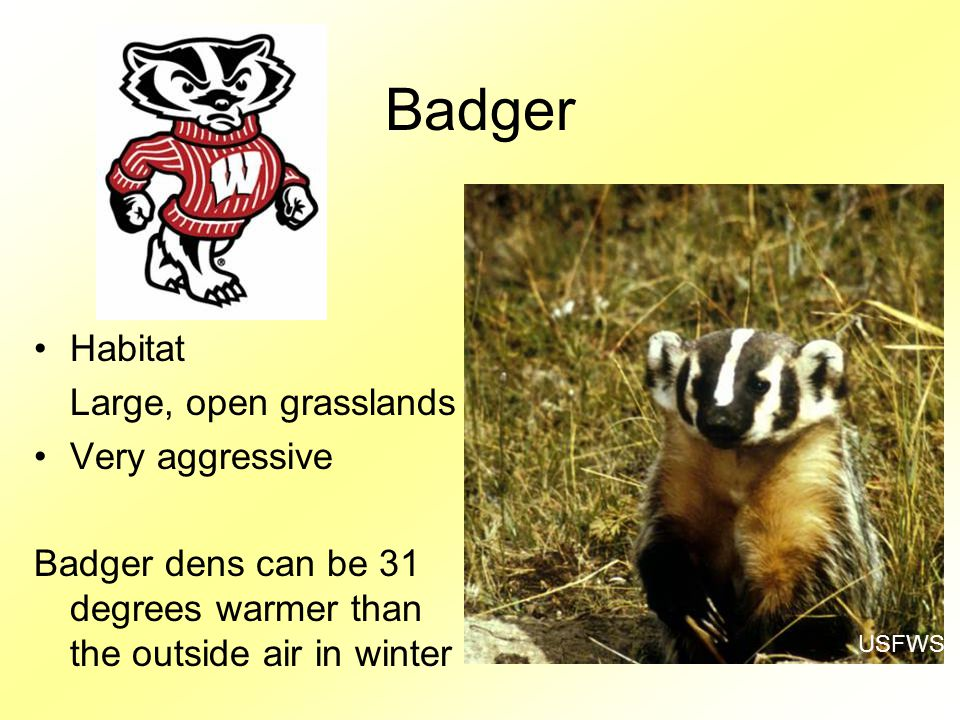 Badger Habitat Large, open grasslands Very aggressive Badger dens can be 31 degrees warmer than the outside air in winter USFWS