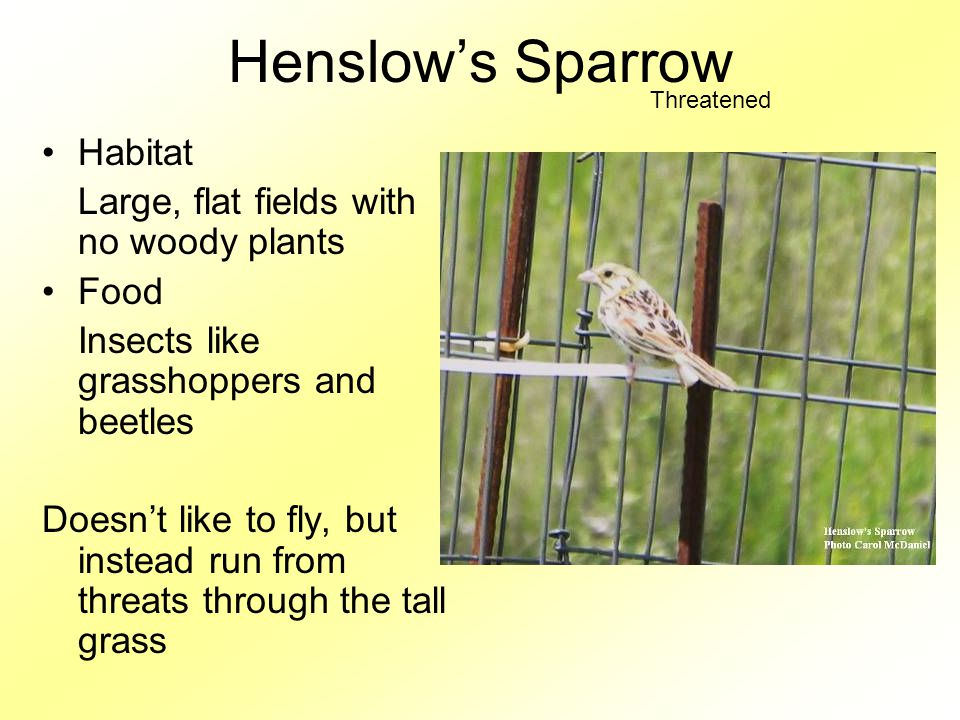 Henslow's Sparrow Habitat Large, flat fields with no woody plants Food Insects like grasshoppers and beetles Doesn't like to fly, but instead run from threats through the tall grass Threatened