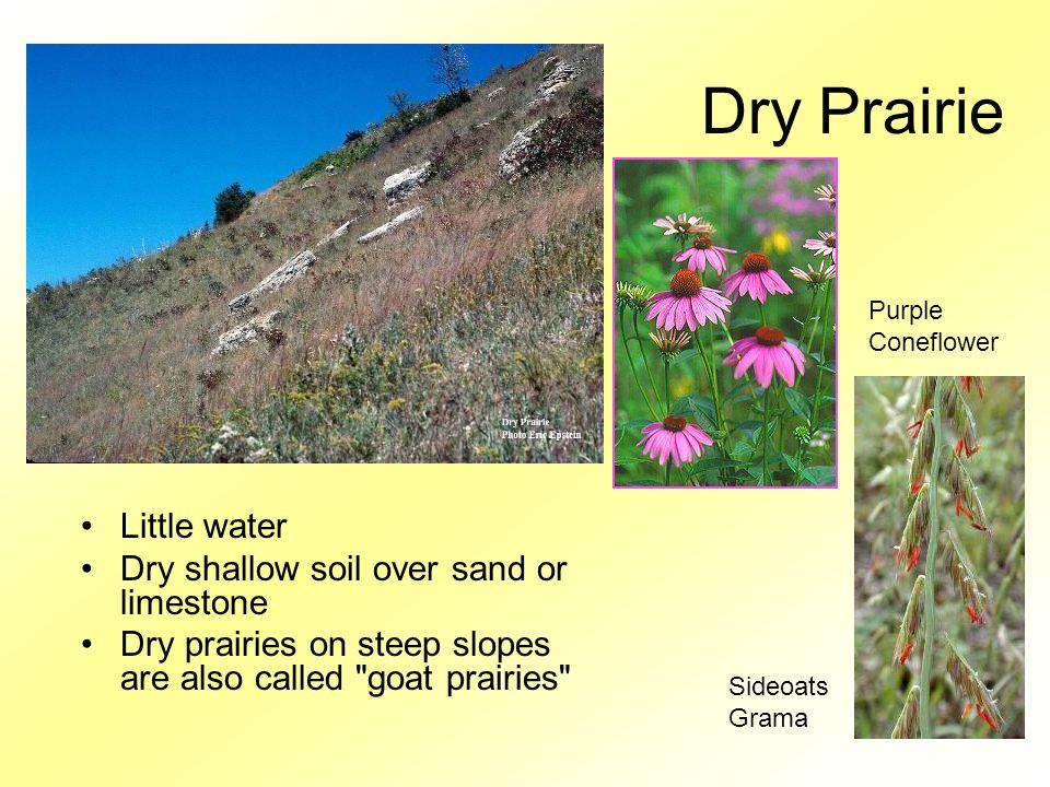Dry Prairie Little water Dry shallow soil over sand or limestone Dry prairies on steep slopes are also called goat prairies Eric Epstein Purple Coneflower Sideoats Grama
