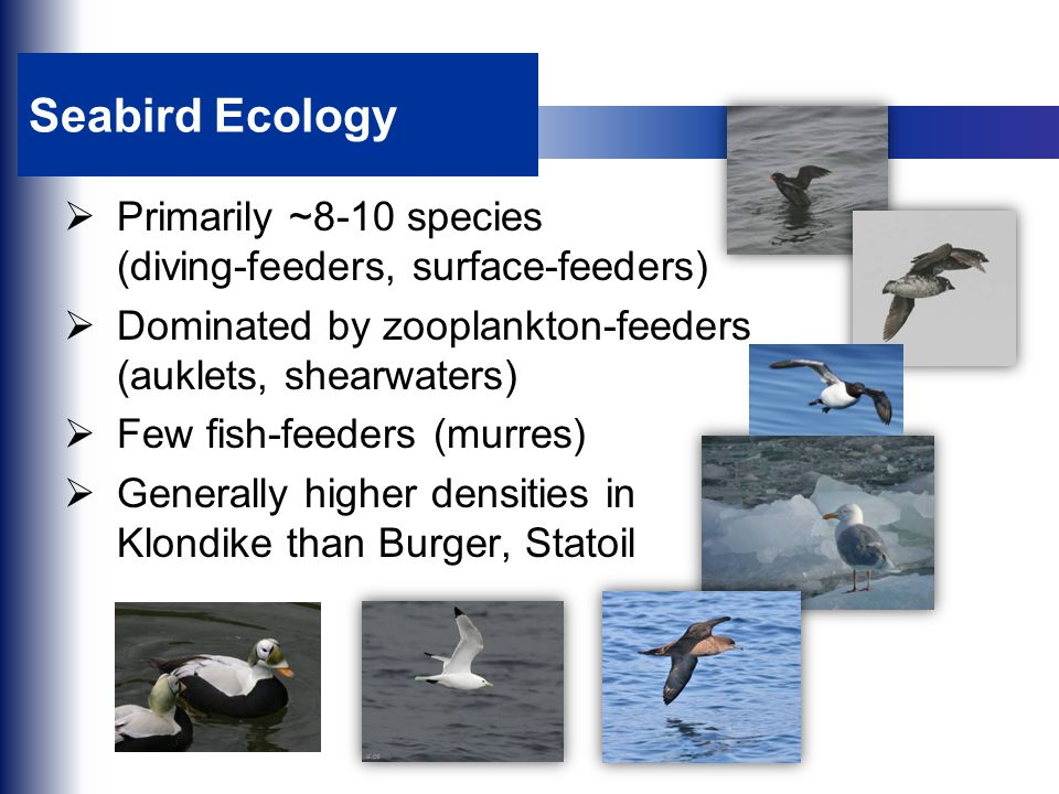 Seabird Ecology  Primarily ~8-10 species (diving-feeders, surface-feeders)  Dominated by zooplankton-feeders (auklets, shearwaters)  Few fish-feede