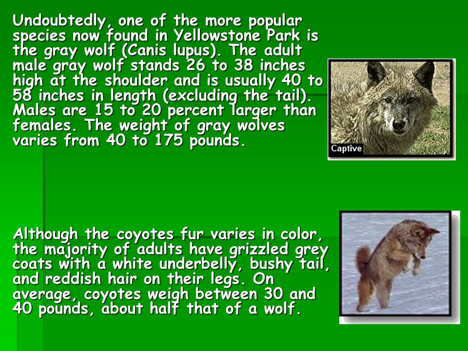 Undoubtedly, one of the more popular species now found in Yellowstone Park is the gray wolf (Canis lupus).
