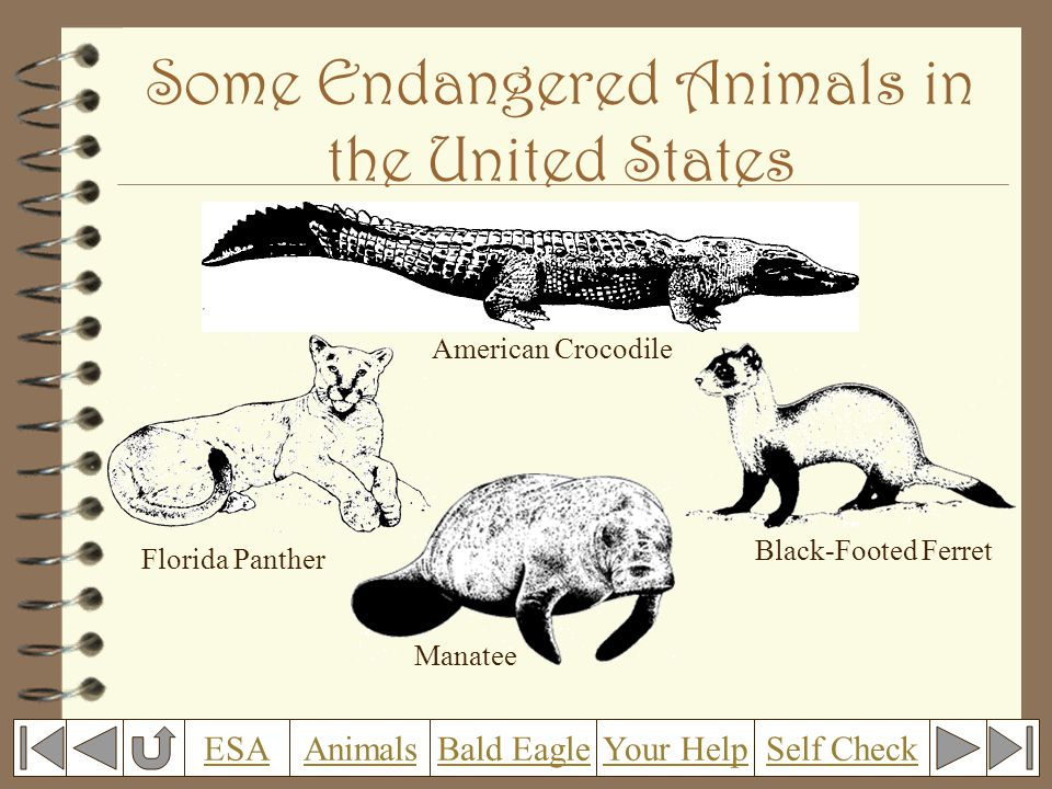 Some Endangered Animals in the United States American Crocodile Florida Panther Black-Footed Ferret Manatee Self CheckESAAnimalsBald EagleYour Help