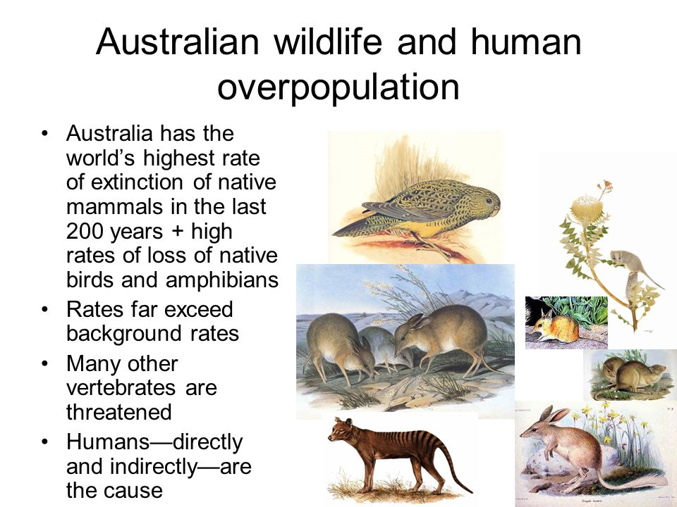 Australian wildlife and human overpopulation Australia has the world's highest rate of extinction of native mammals in the last 200 years + high rates of loss of native birds and amphibians Rates far exceed background rates Many other vertebrates are threatened Humans—directly and indirectly—are the cause