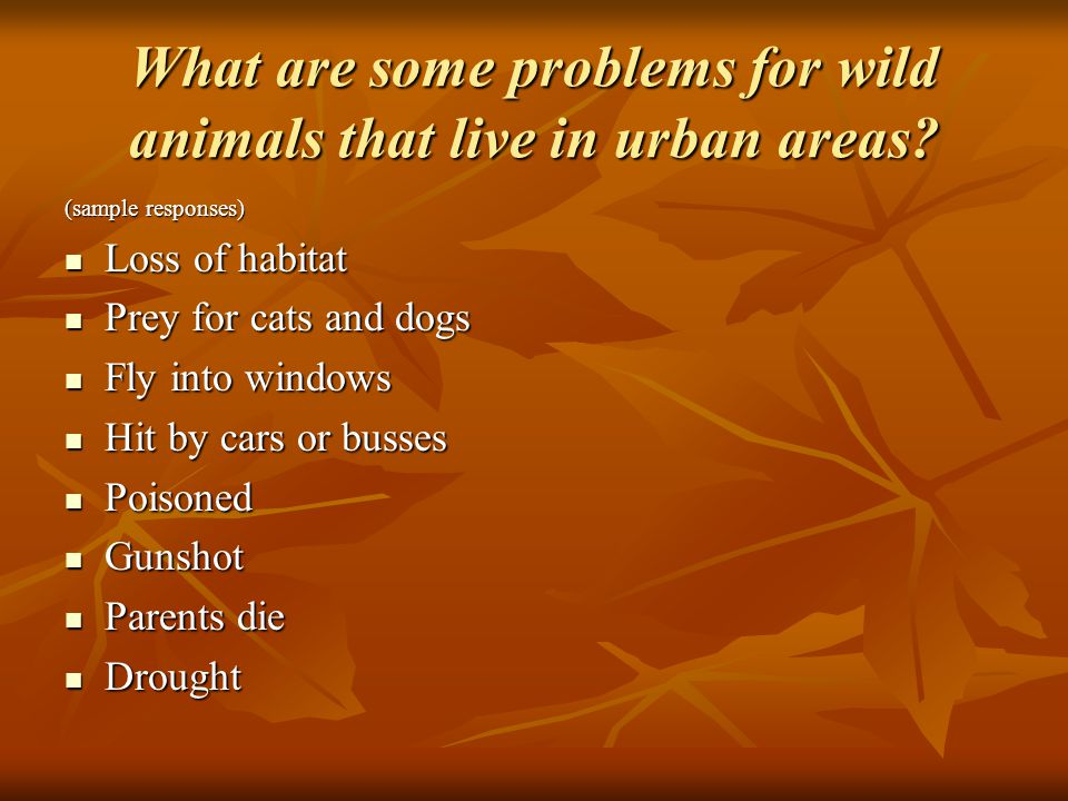 What are some problems for wild animals that live in urban areas.