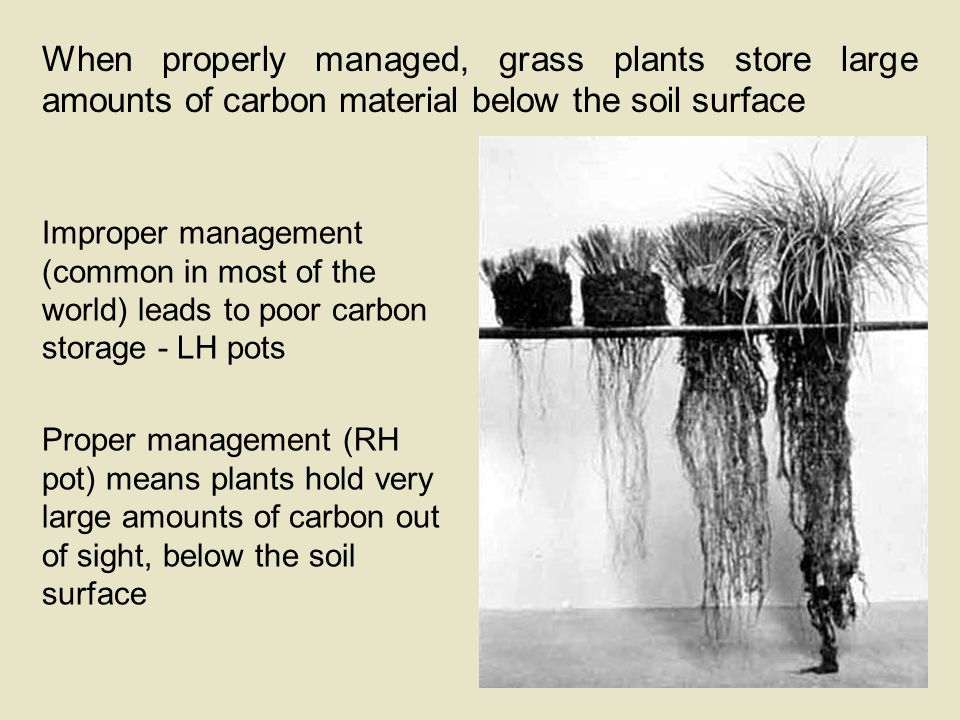 When properly managed, grass plants store large amounts of carbon material below the soil surface Improper management (common in most of the world) leads to poor carbon storage - LH pots Proper management (RH pot) means plants hold very large amounts of carbon out of sight, below the soil surface