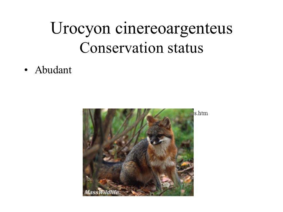 Urocyon cinereoargenteus Conservation status Abudant http://www.stat.ma.us/dfwele/dfw/Dfw_foxes.htm