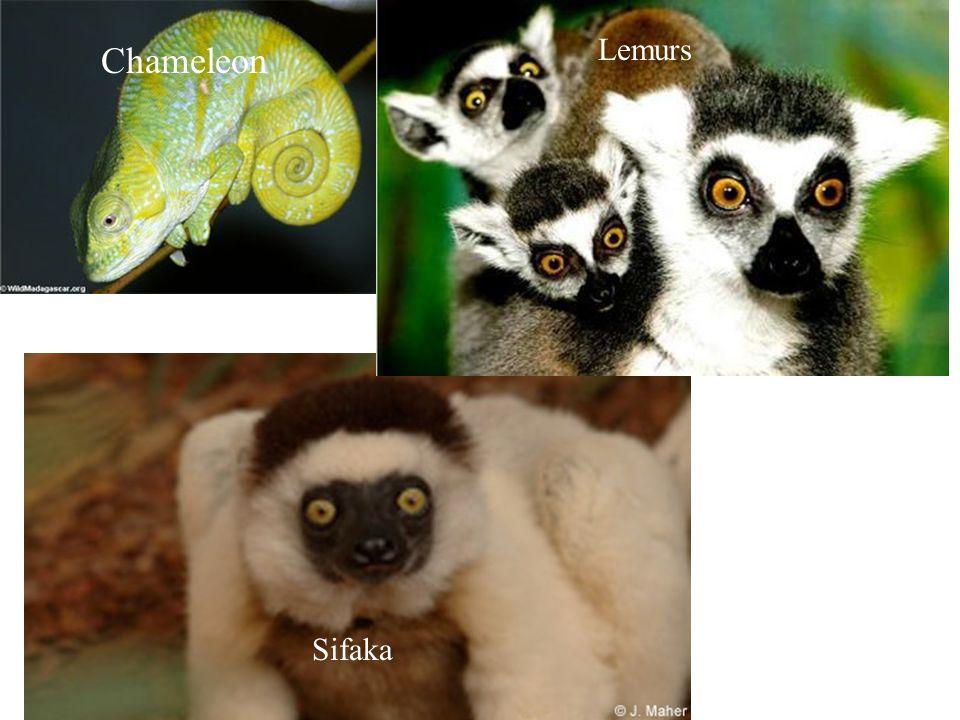 Chameleon Lemurs Sifaka