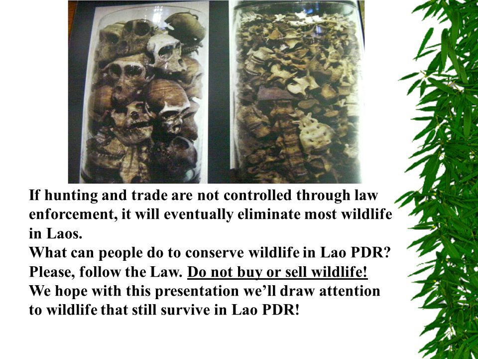 If hunting and trade are not controlled through law enforcement, it will eventually eliminate most wildlife in Laos.