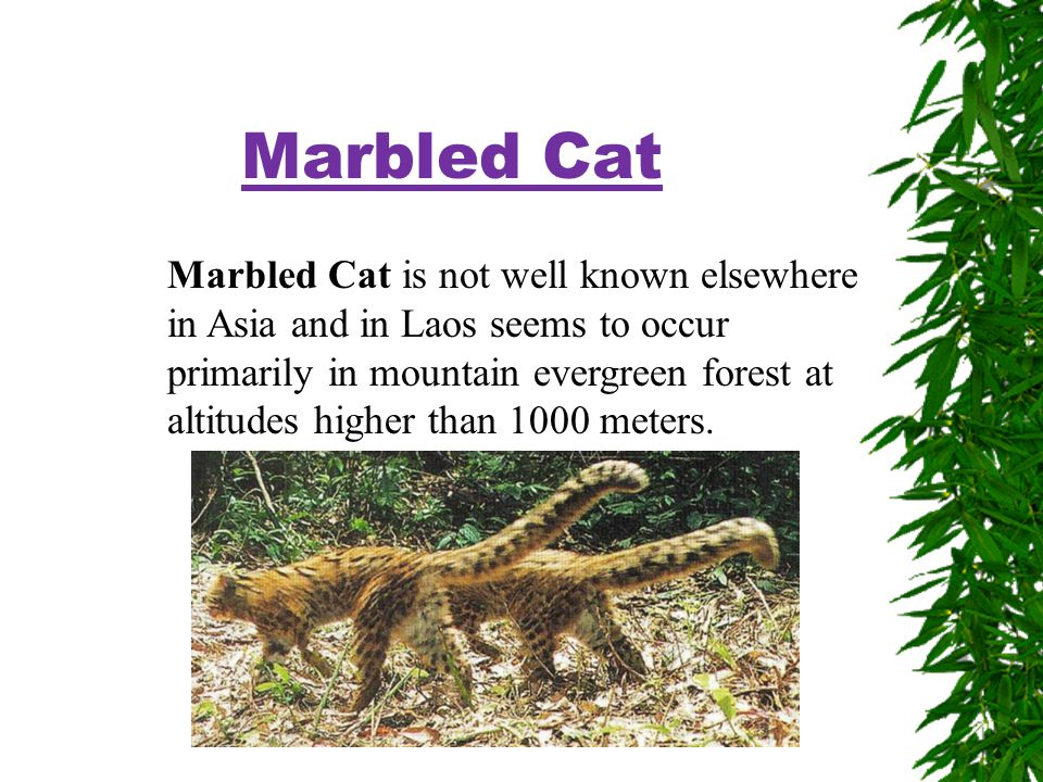 Marbled Cat Marbled Cat is not well known elsewhere in Asia and in Laos seems to occur primarily in mountain evergreen forest at altitudes higher than 1000 meters.