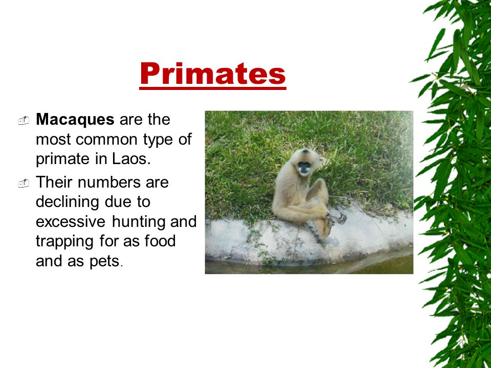 Primates  Macaques are the most common type of primate in Laos.