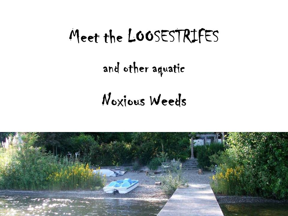 Meet the LOOSESTRIFES and other aquatic Noxious Weeds