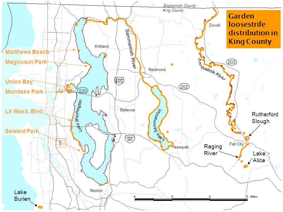 Bellevue Issaquah Redmond Renton Kirkland Fall City Duvall Rutherford Slough Lake Burien Sammamish River 203 202 Snohomish County King County Garden loosestrife distribution in King County 90 5 405 Raging River 520 Lake Alice Matthews Beach Magnuson Park Union Bay Montlake Park Lk Wash.