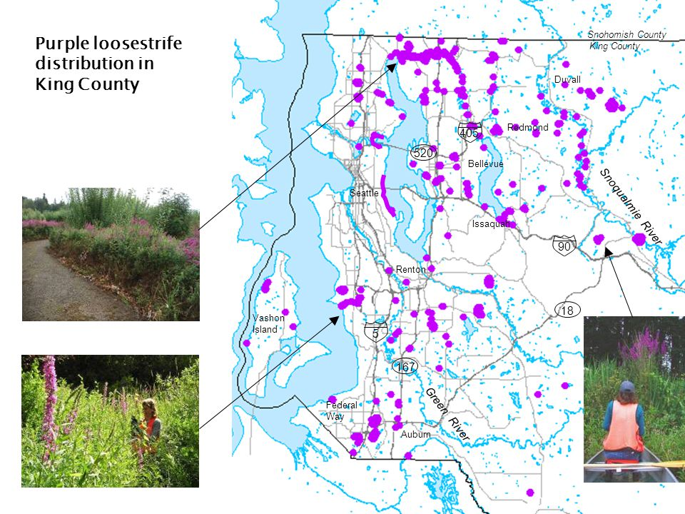 Seattle Bellevue Issaquah Redmond Renton Federal Way Duvall Green River Snohomish County King County Purple loosestrife distribution in King County 5 90 405 520 167 18 Auburn Snoqualmie River Vashon Island