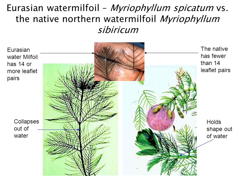 Eurasian watermilfoil – Myriophyllum spicatum vs. the native northern watermilfoil Myriophyllum sibiricum Eurasian water Milfoil has 14 or more leafle