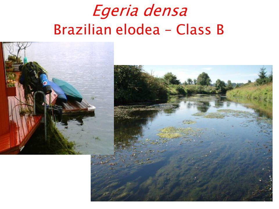 Egeria densa Brazilian elodea – Class B