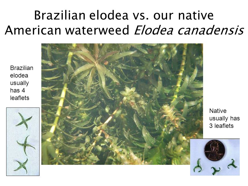 Brazilian elodea vs.