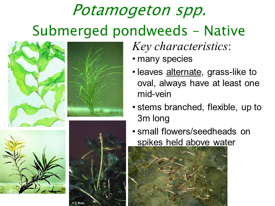 Potamogeton spp. Submerged pondweeds – Native Key characteristics: many species leaves alternate, grass-like to oval, always have at least one mid-vei