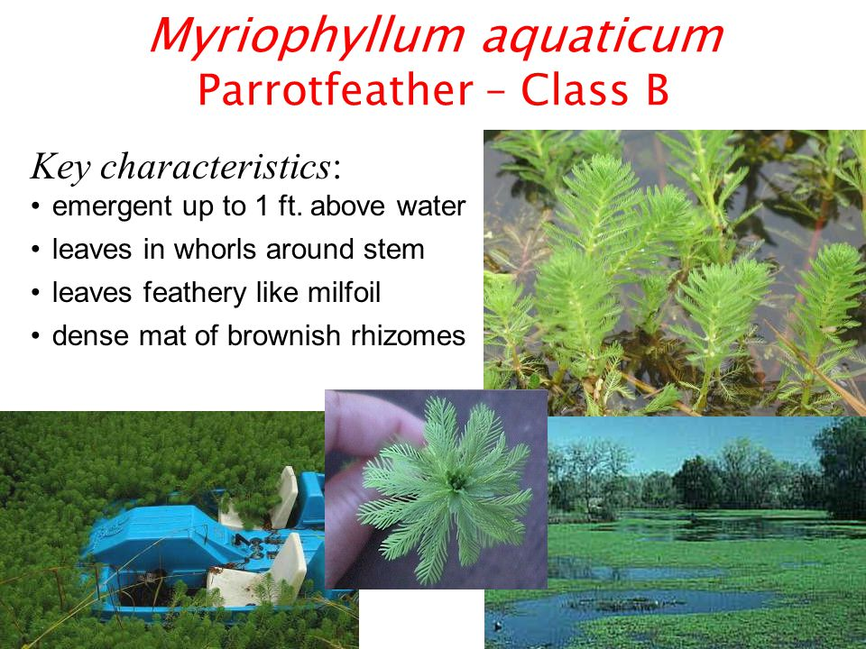 Myriophyllum aquaticum Parrotfeather – Class B Key characteristics: emergent up to 1 ft.