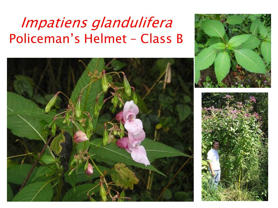 Impatiens glandulifera Policeman's Helmet – Class B