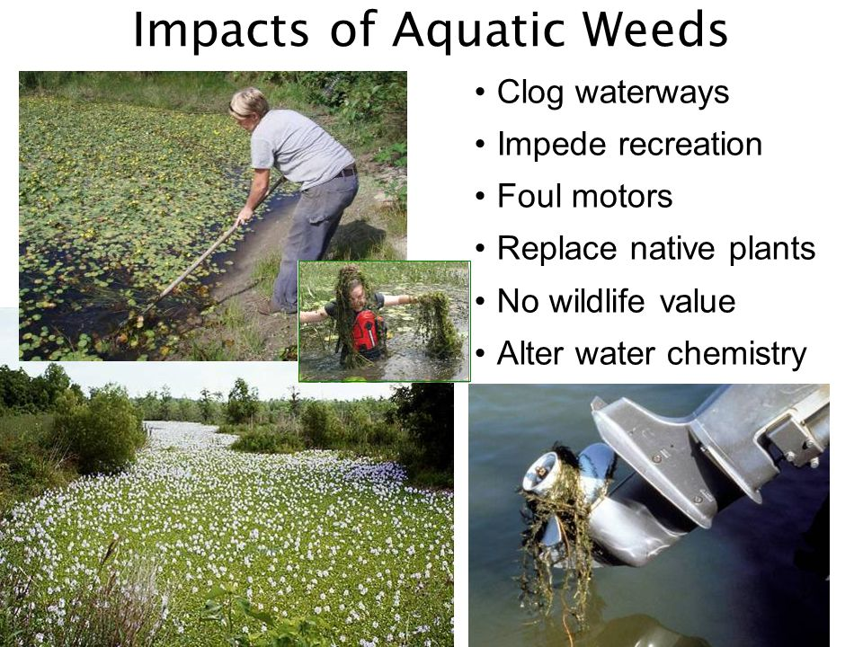 Clog waterways Impede recreation Foul motors Replace native plants No wildlife value Alter water chemistry Impacts of Aquatic Weeds