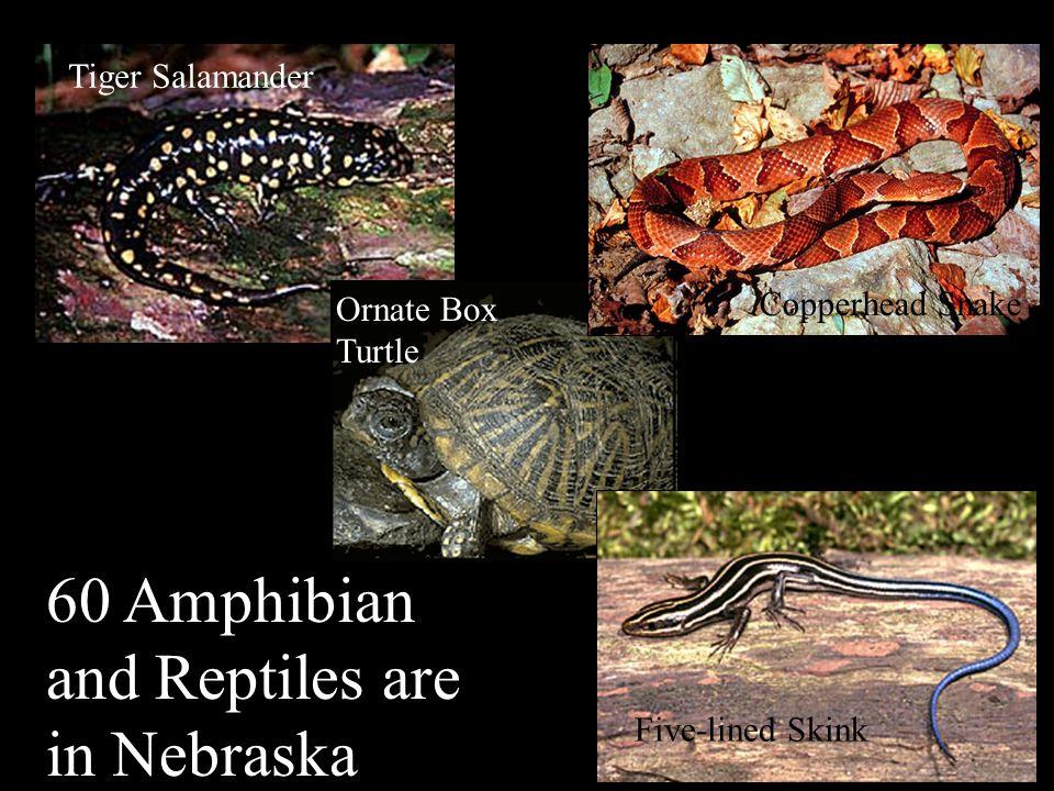 Nebraska's Natural Legacy Project Finescale dace 80 native fish species swim in Nebraska waters Bluegill Paddlefish American Eel