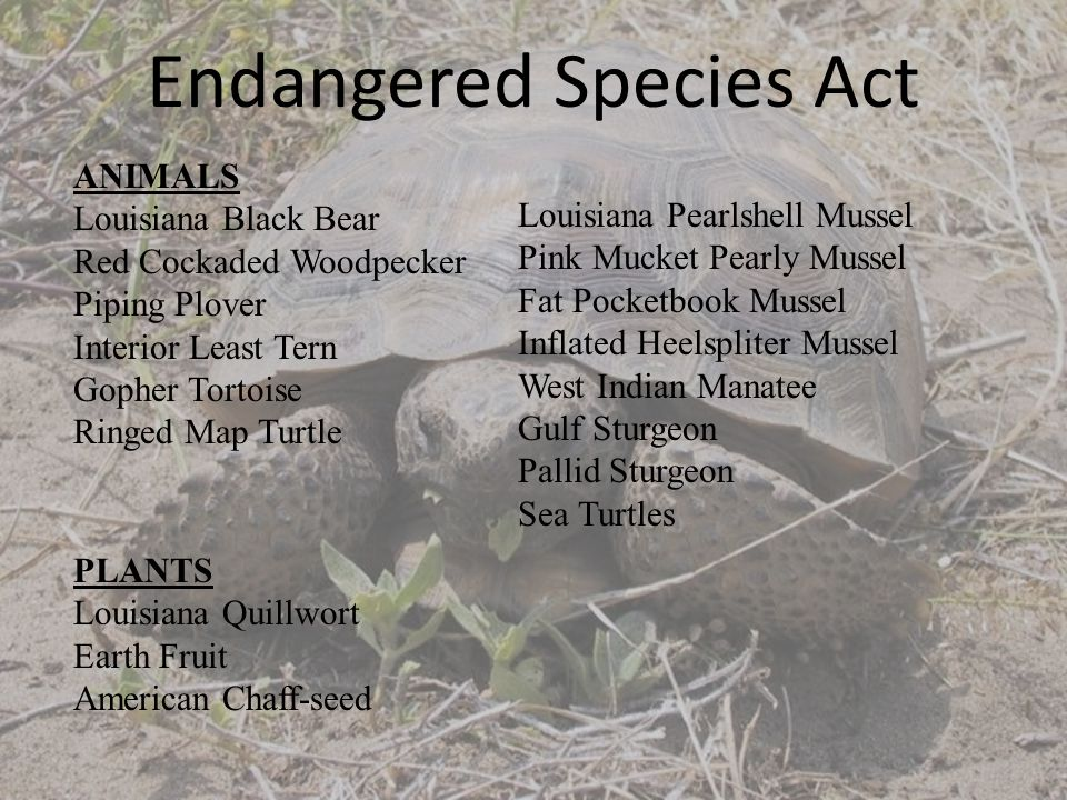 ANIMALS Louisiana Black Bear Red Cockaded Woodpecker Piping Plover Interior Least Tern Gopher Tortoise Ringed Map Turtle Louisiana Pearlshell Mussel Pink Mucket Pearly Mussel Fat Pocketbook Mussel Inflated Heelspliter Mussel West Indian Manatee Gulf Sturgeon Pallid Sturgeon Sea Turtles PLANTS Louisiana Quillwort Earth Fruit American Chaff-seed Endangered Species Act