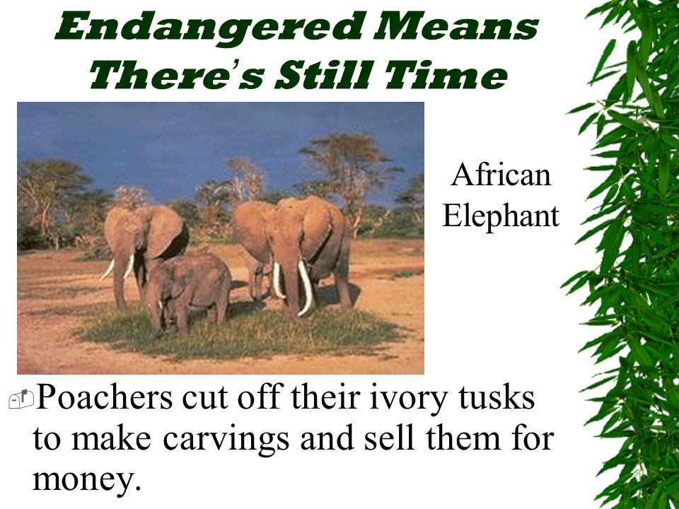 Endangered Means There ' s Still Time  Poachers cut off their ivory tusks to make carvings and sell them for money.