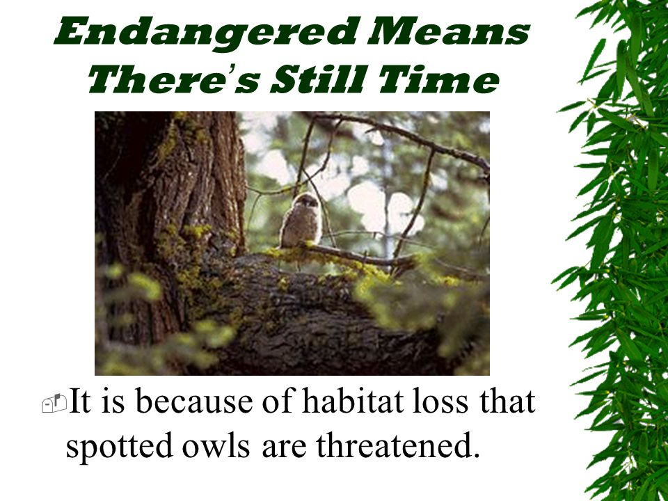 Endangered Means There ' s Still Time  It is because of habitat loss that spotted owls are threatened.